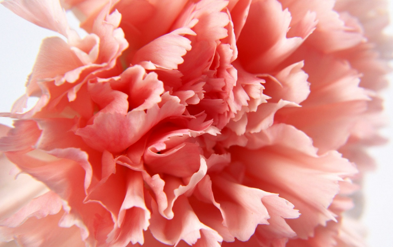 Macro Carnation wallpapers