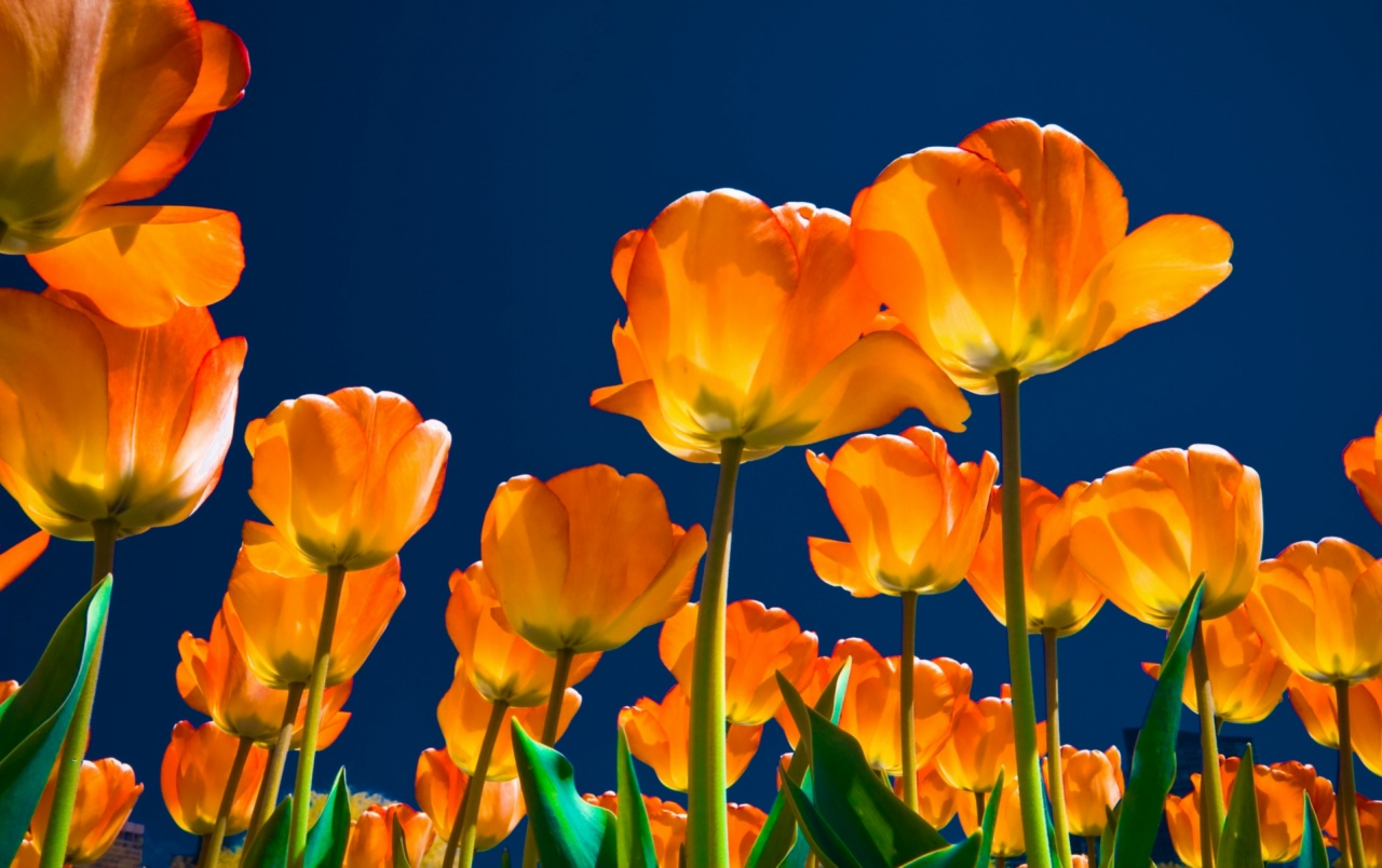 Affectionate Tulips wallpapers