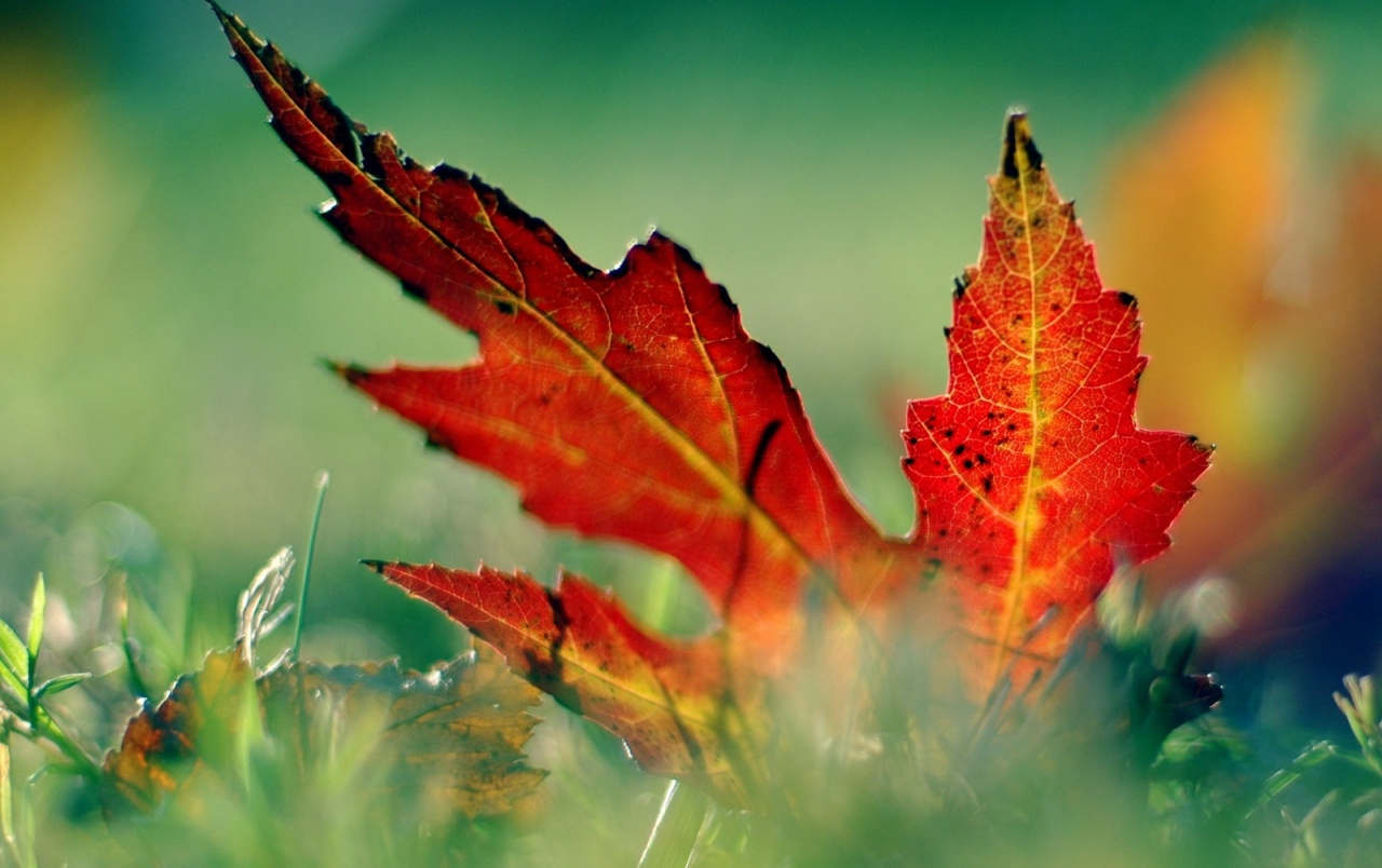 Red leaf in the grass wallpapers