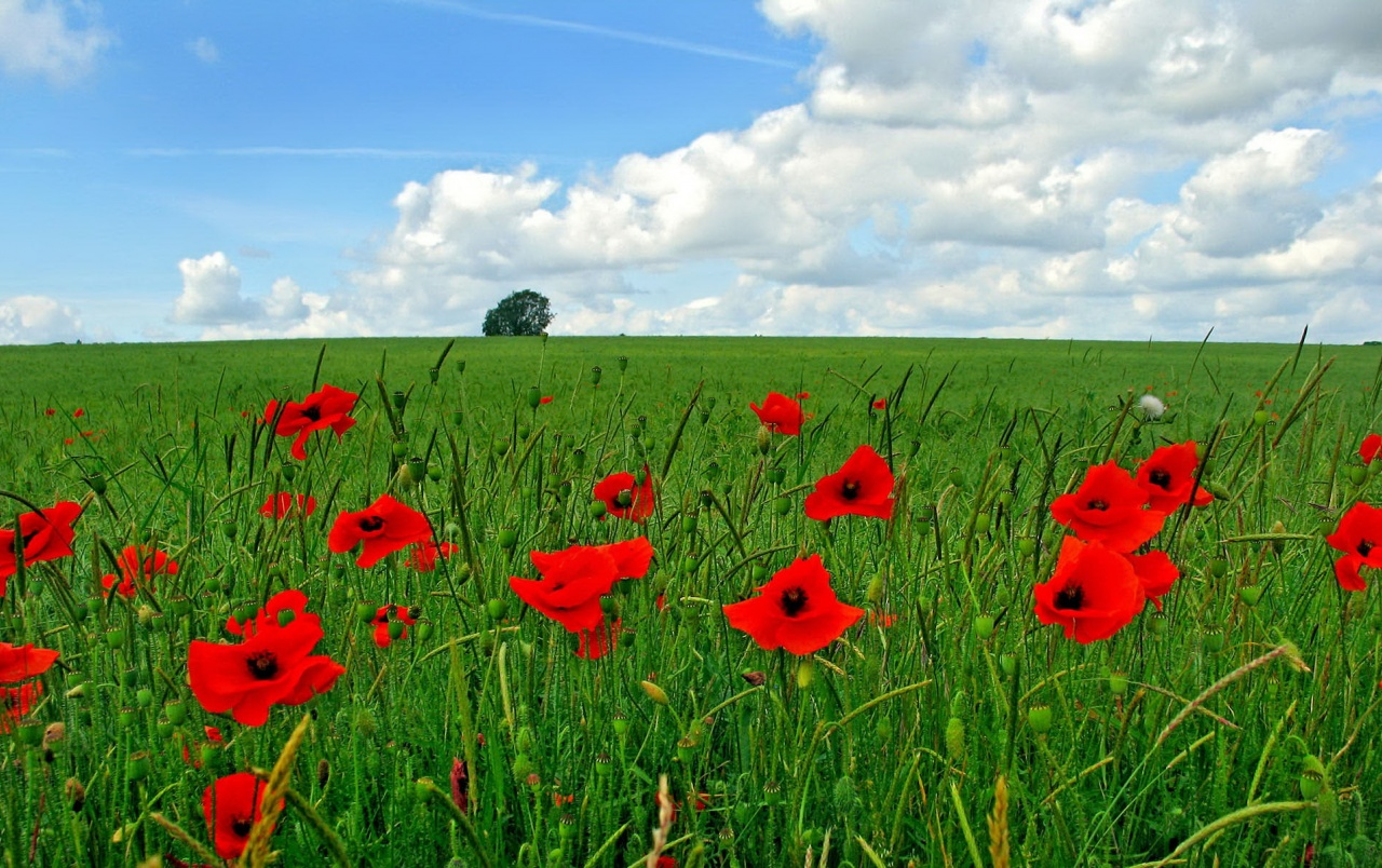 Poppy flowers on field wallpapers