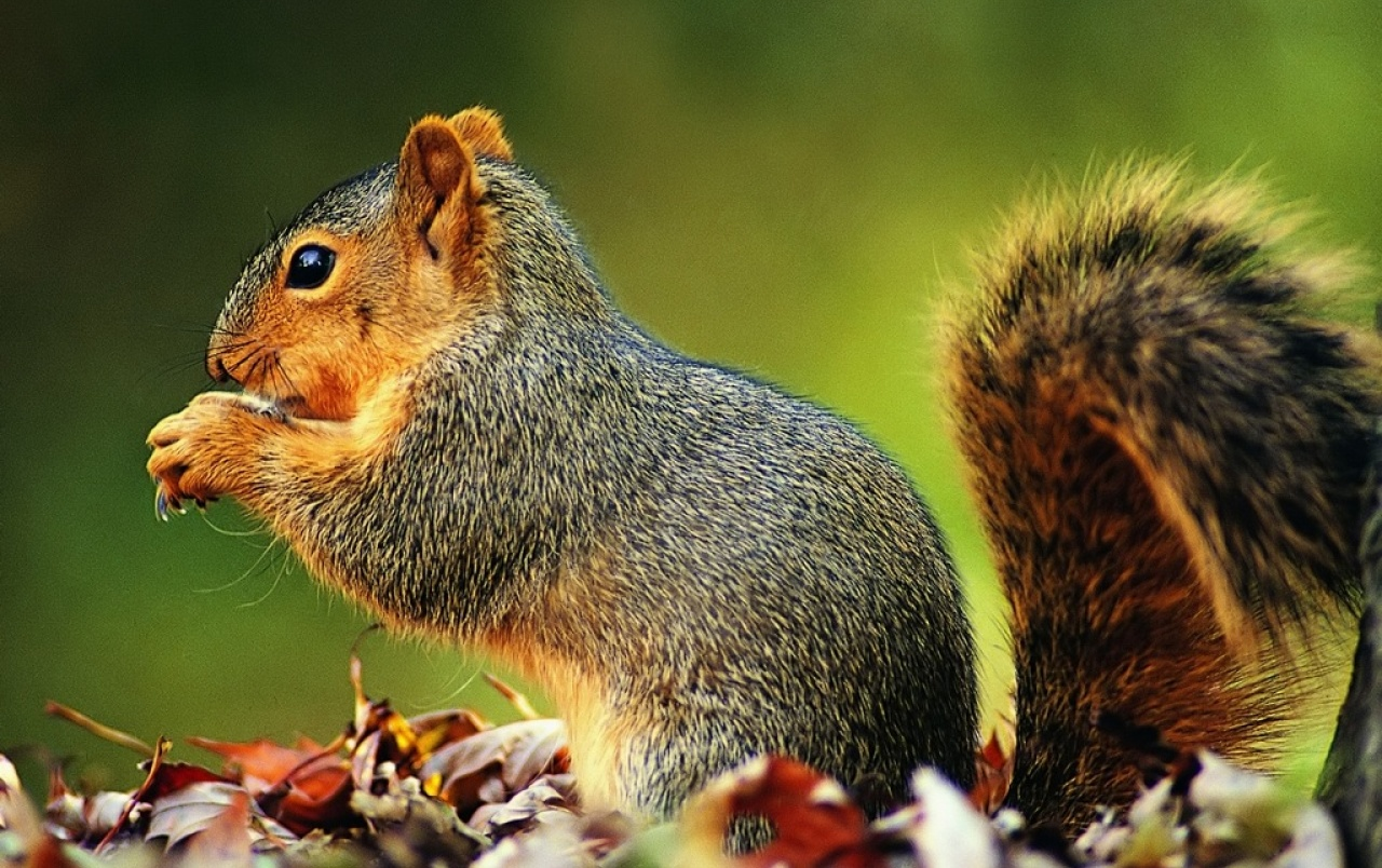 Playfull squirrel wallpapers