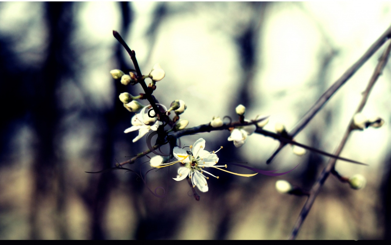 Isolated cherry flower wallpapers