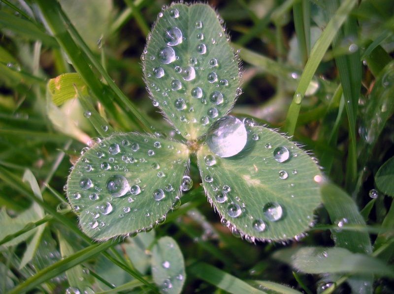 800x600 Water drops on clover