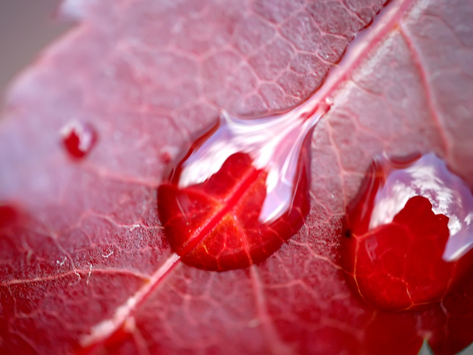 1600x1200 Water on red leaf desktop PC and Mac wallpaper