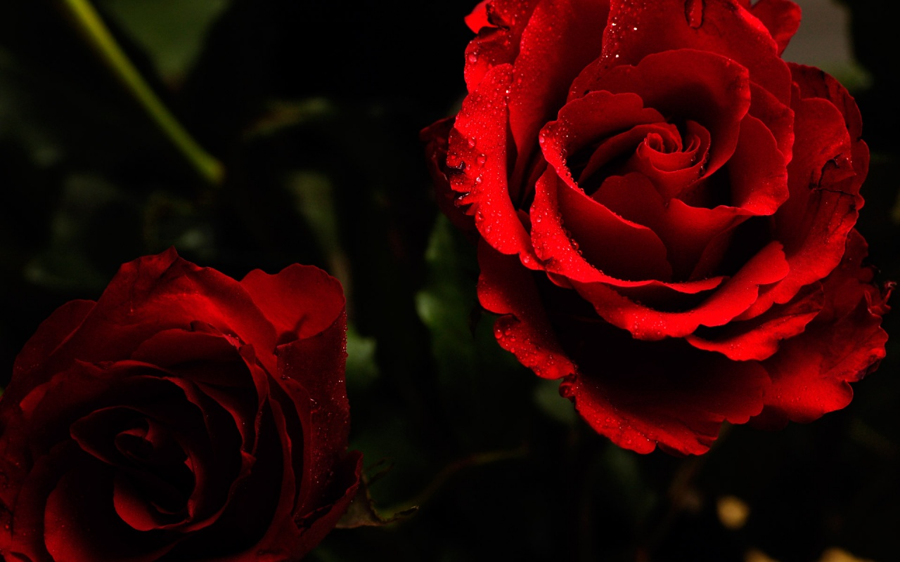 1280x800 Wet Roses desktop PC and Mac wallpaperRed Roses Wallpaper Desktop Background