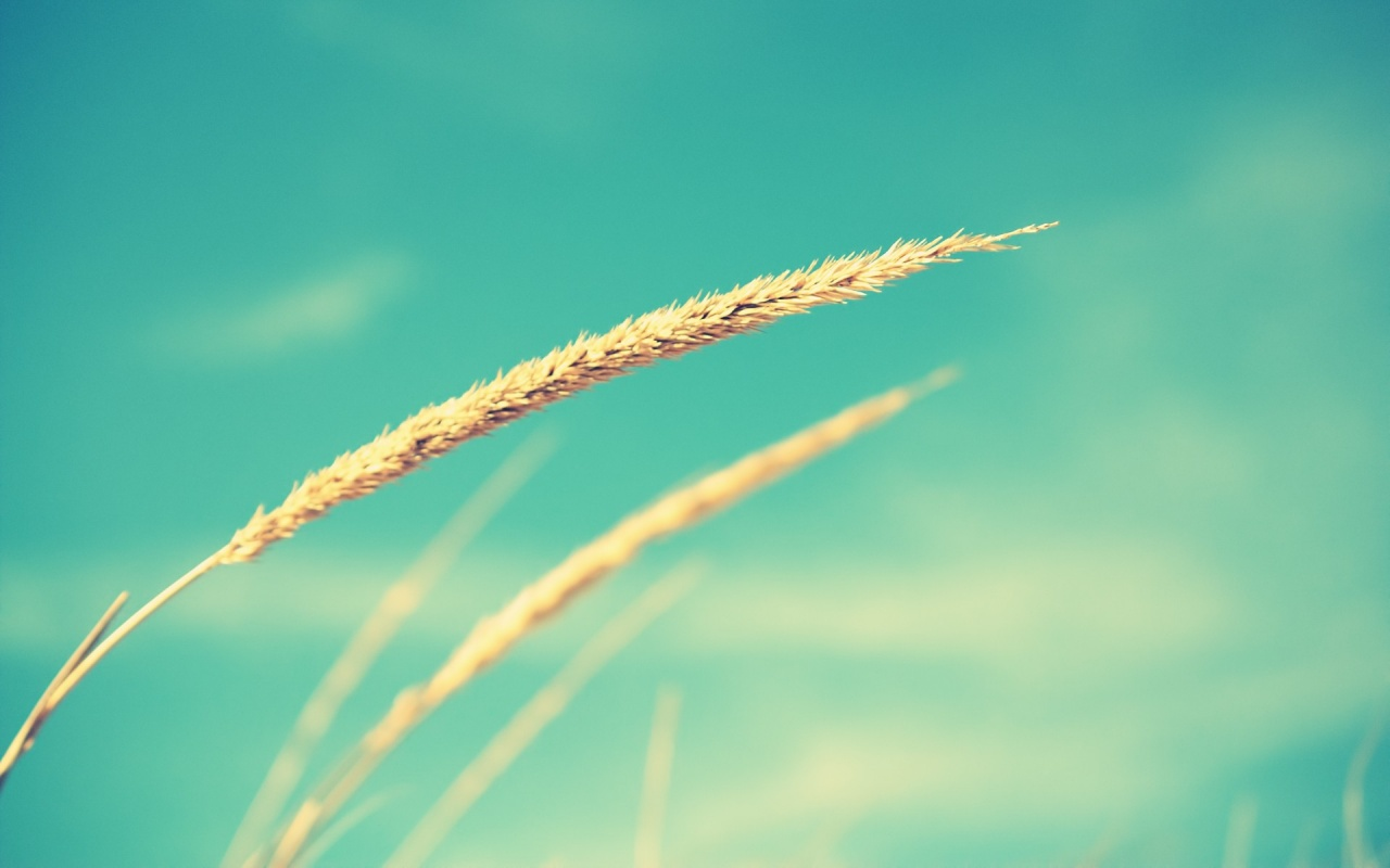 1280x800 wheat and blue sky desktop pc and mac wallpaper