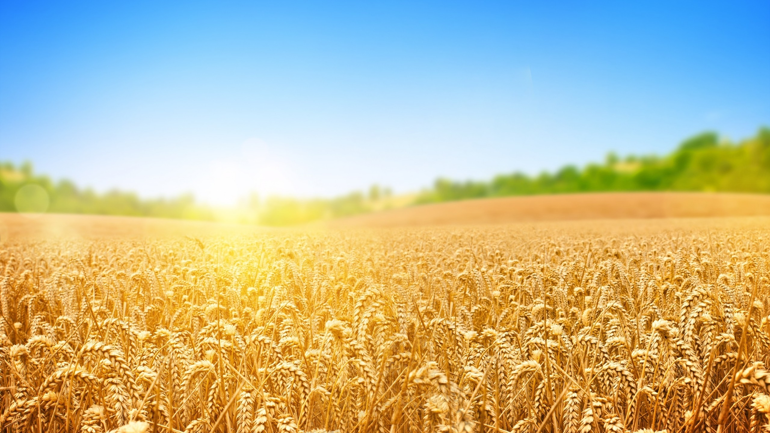 2560x1440 Wheat Field