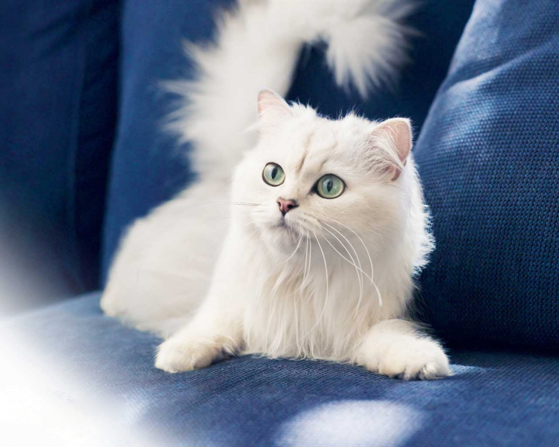 1152x864 white cat desktop pc and mac wallpaper