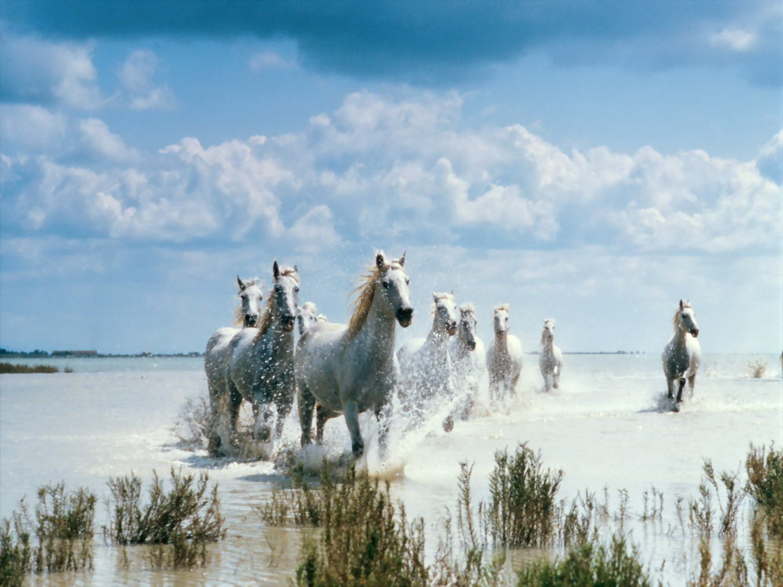 1600x1200 White Horses desktop wallpapers and stock photos