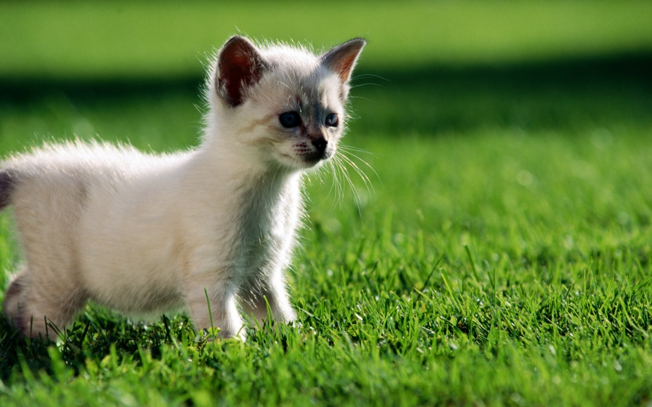 1280x800 white kitten desktop pc and mac wallpaper for Gatti sfondi desktop gratis