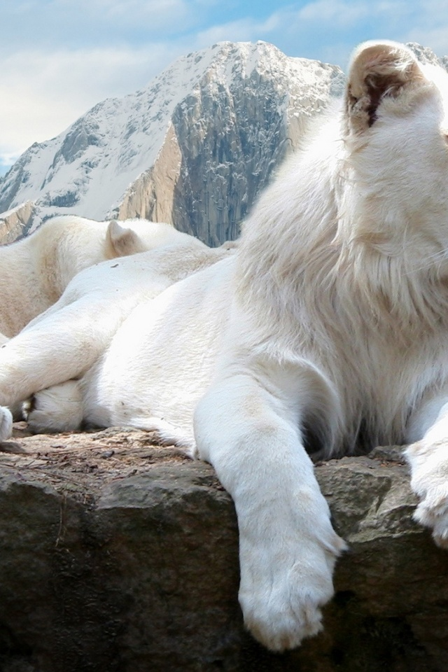640x960 White Lions Iphone 4 Wallpaper