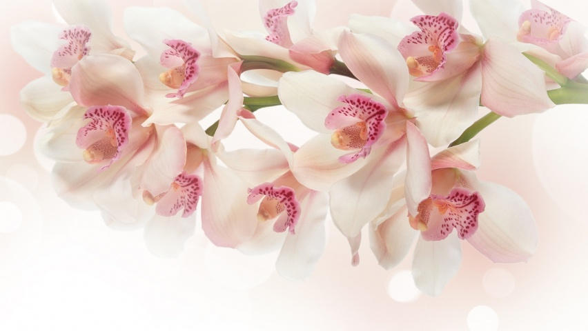 825x315 White Orchid Flowers Facebook Cover Photo