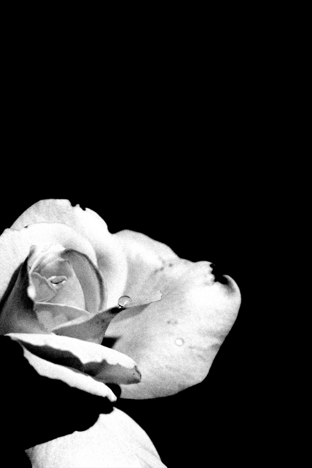 White Rose Iphone Wallpaper 640x960 White Pale Rose Iphone