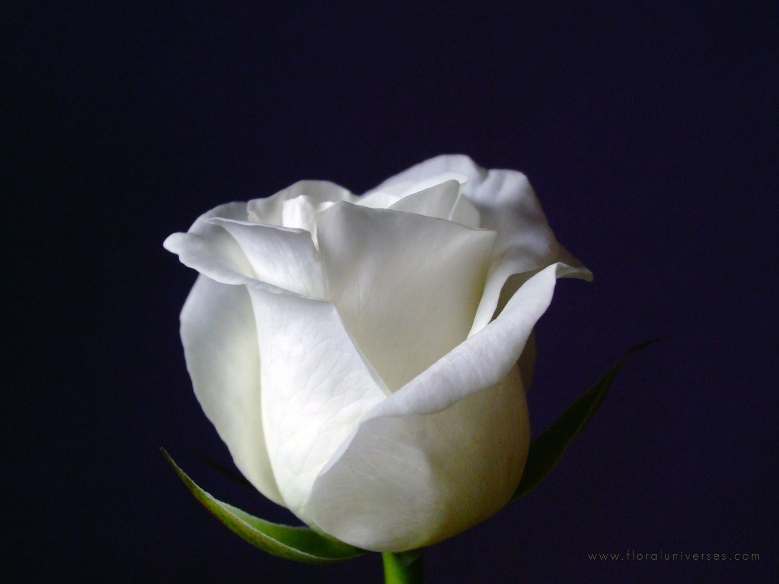 Image White Rose Wallpapers And Stock Photos