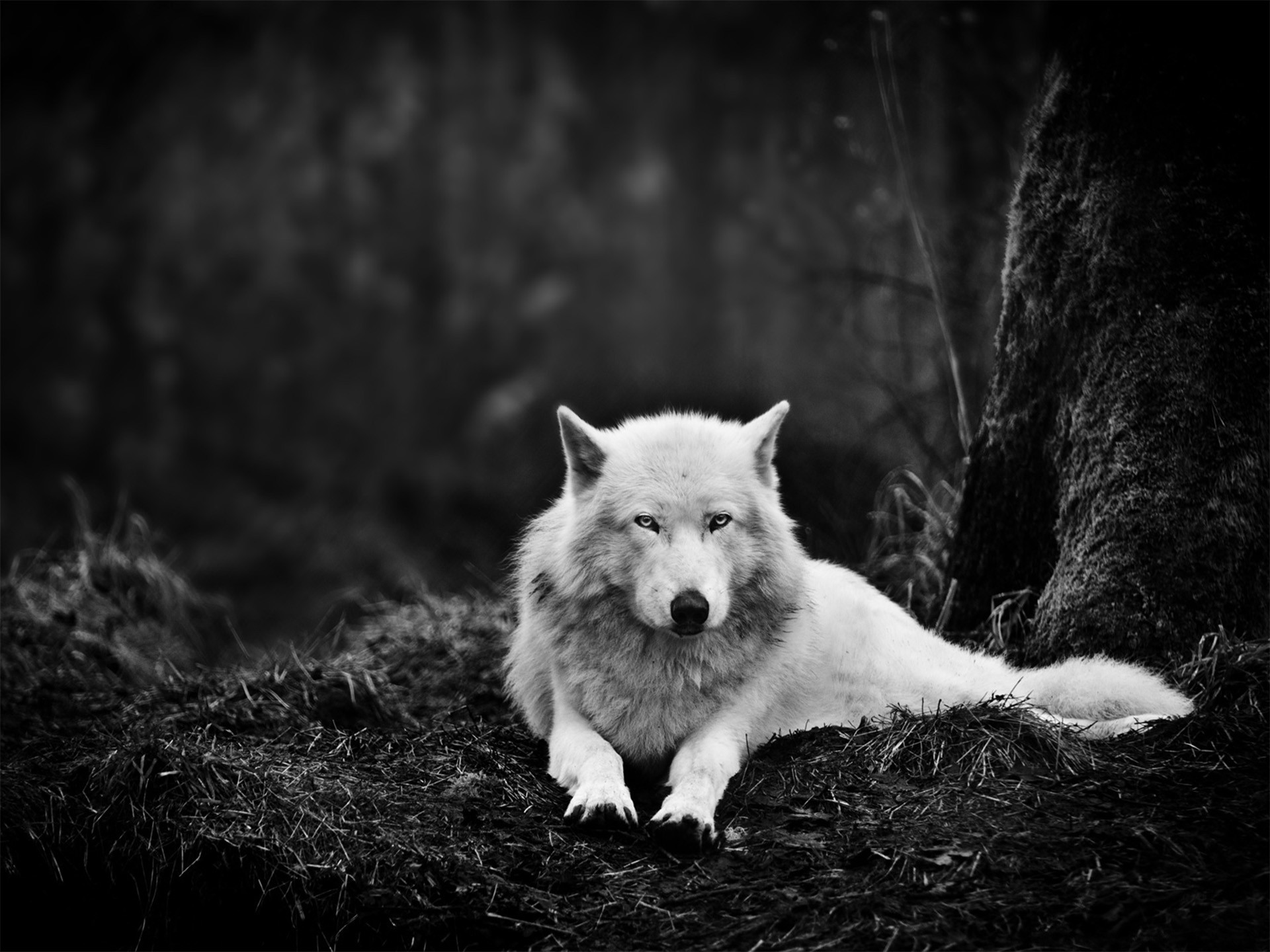 White Wolf In The Wild Wallpapers White Wolf In The Wild Stock