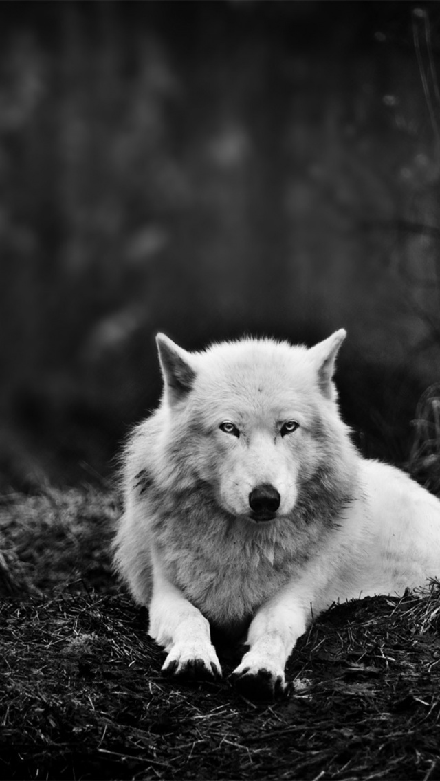 white wolf wallpaper iphone - photo #4