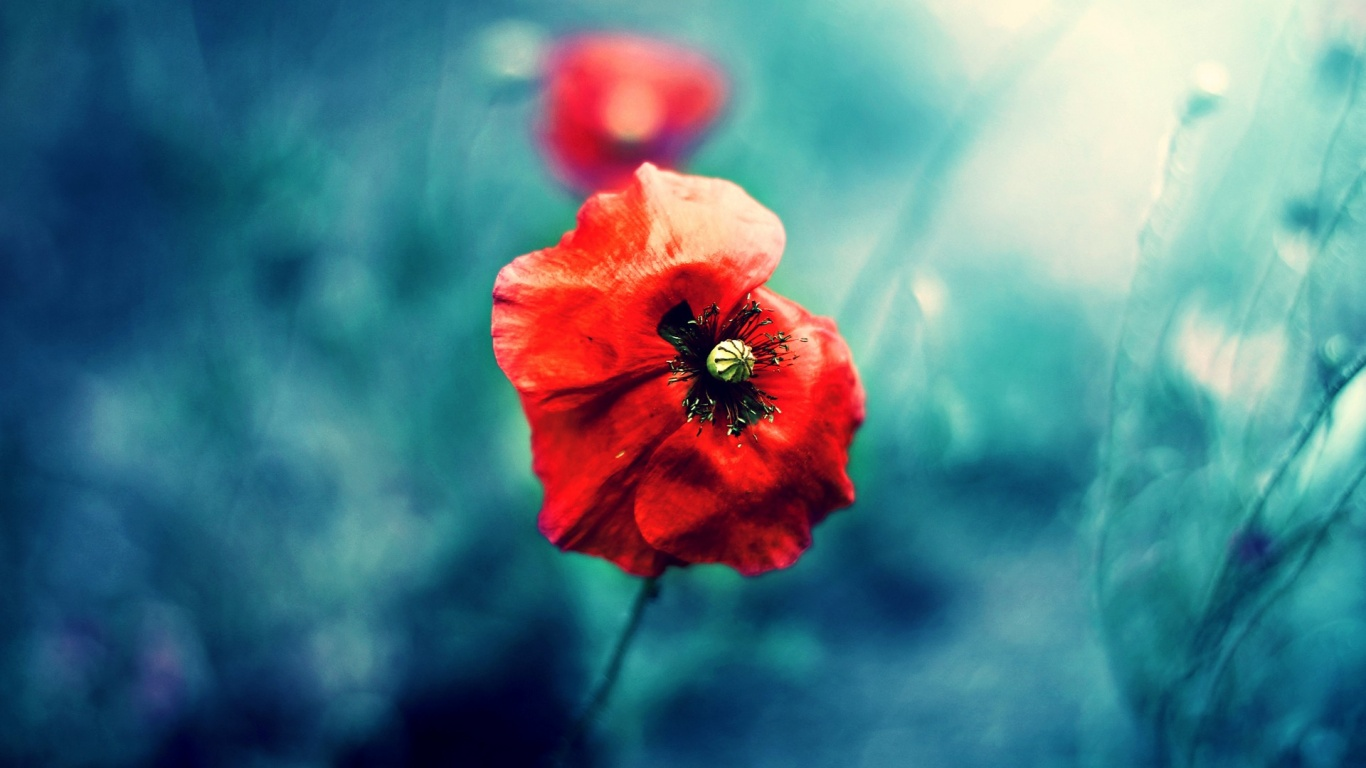 download wallpaper poppies red - photo #35