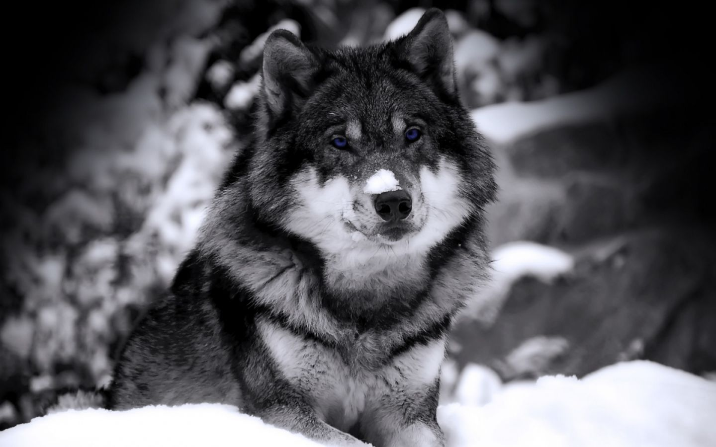 Wolf In Snow Wallpapers Wolf In Snow Stock Photos