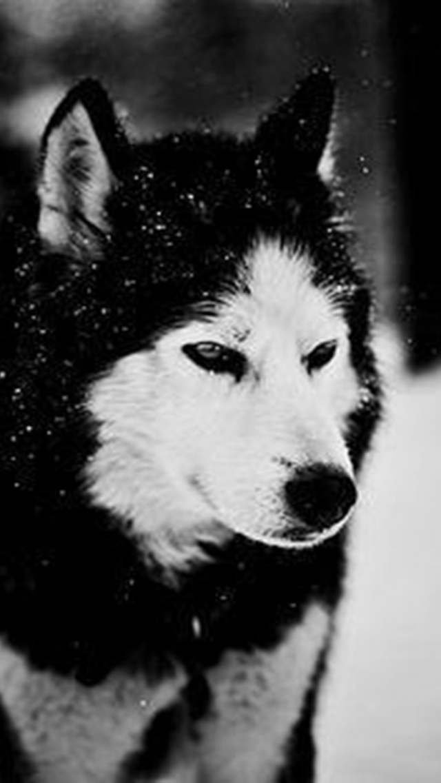 640x1136 wolf in winter iphone 5 wallpaper