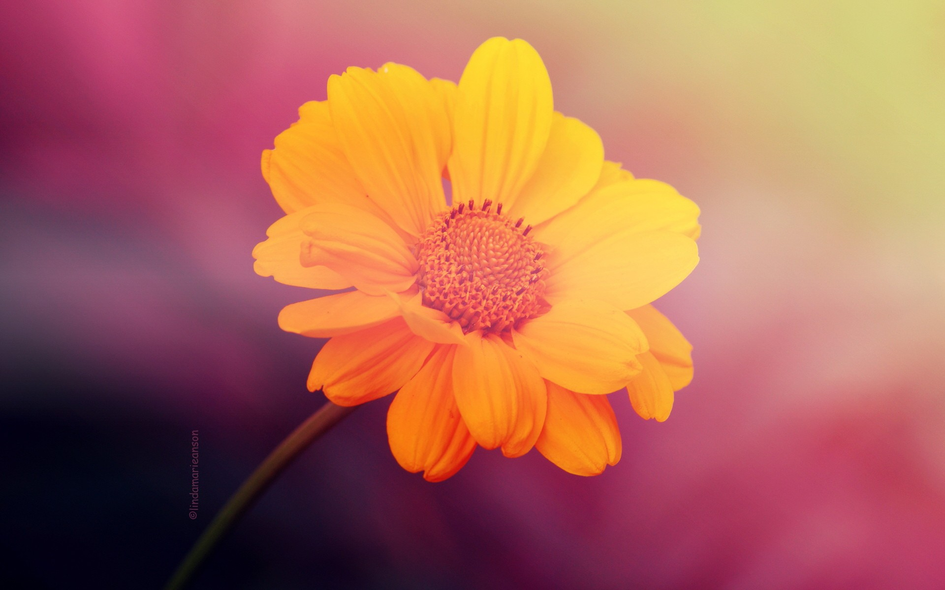 Image Yellow Flower On Pink Background Wallpapers And Stock Photos