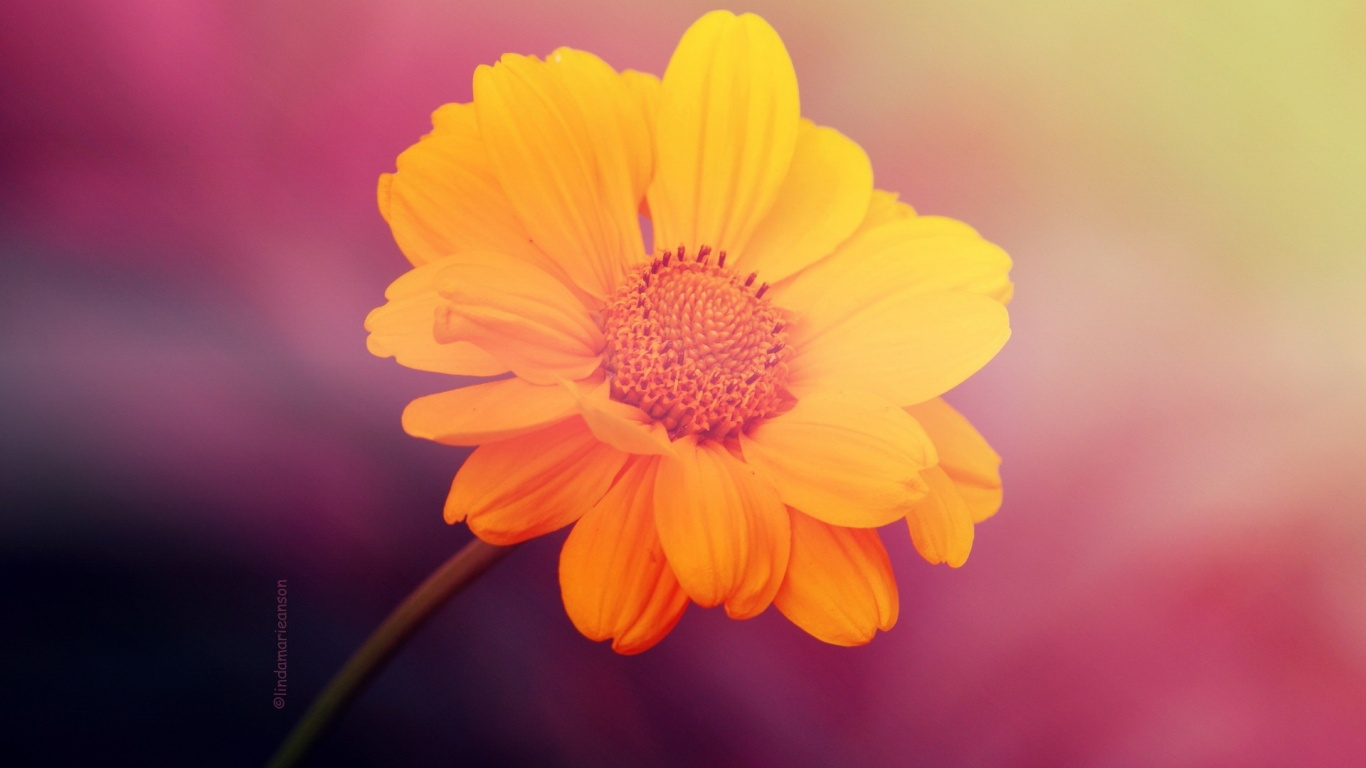 1366x768 Yellow Flower on Pink Background desktop PC and ...