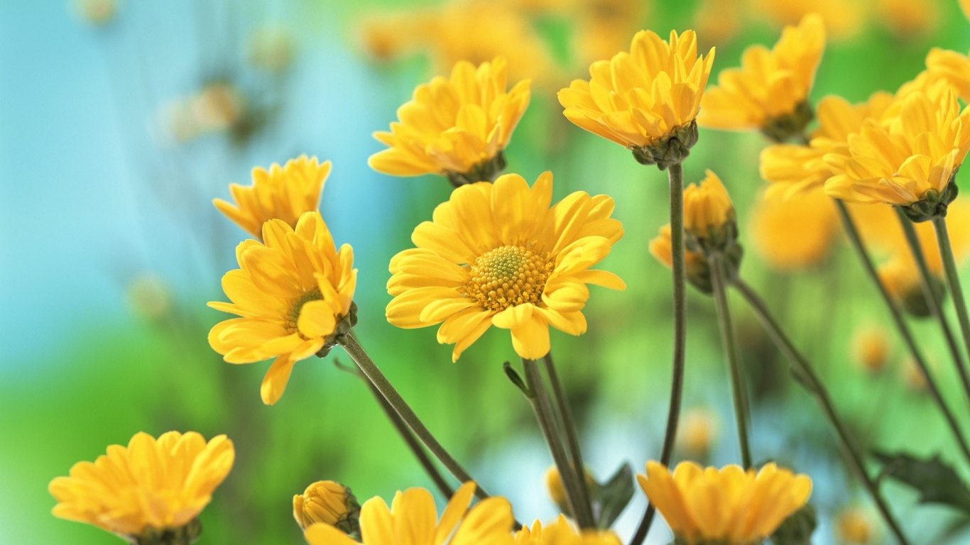 1366x768 Yellow Flowers Desktop PC And Mac Wallpaper