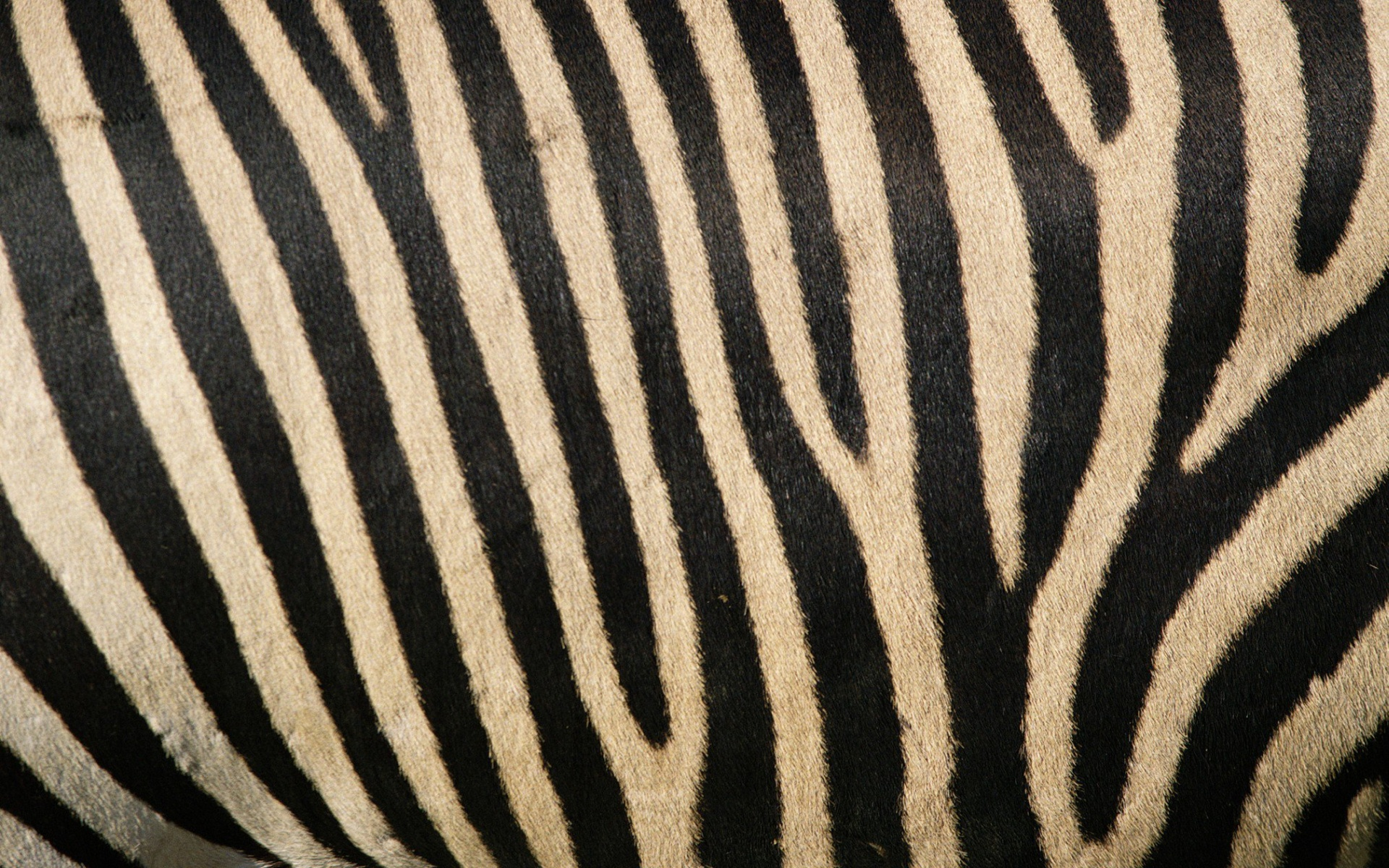 zebra stripe wallpaper stuff - photo #1