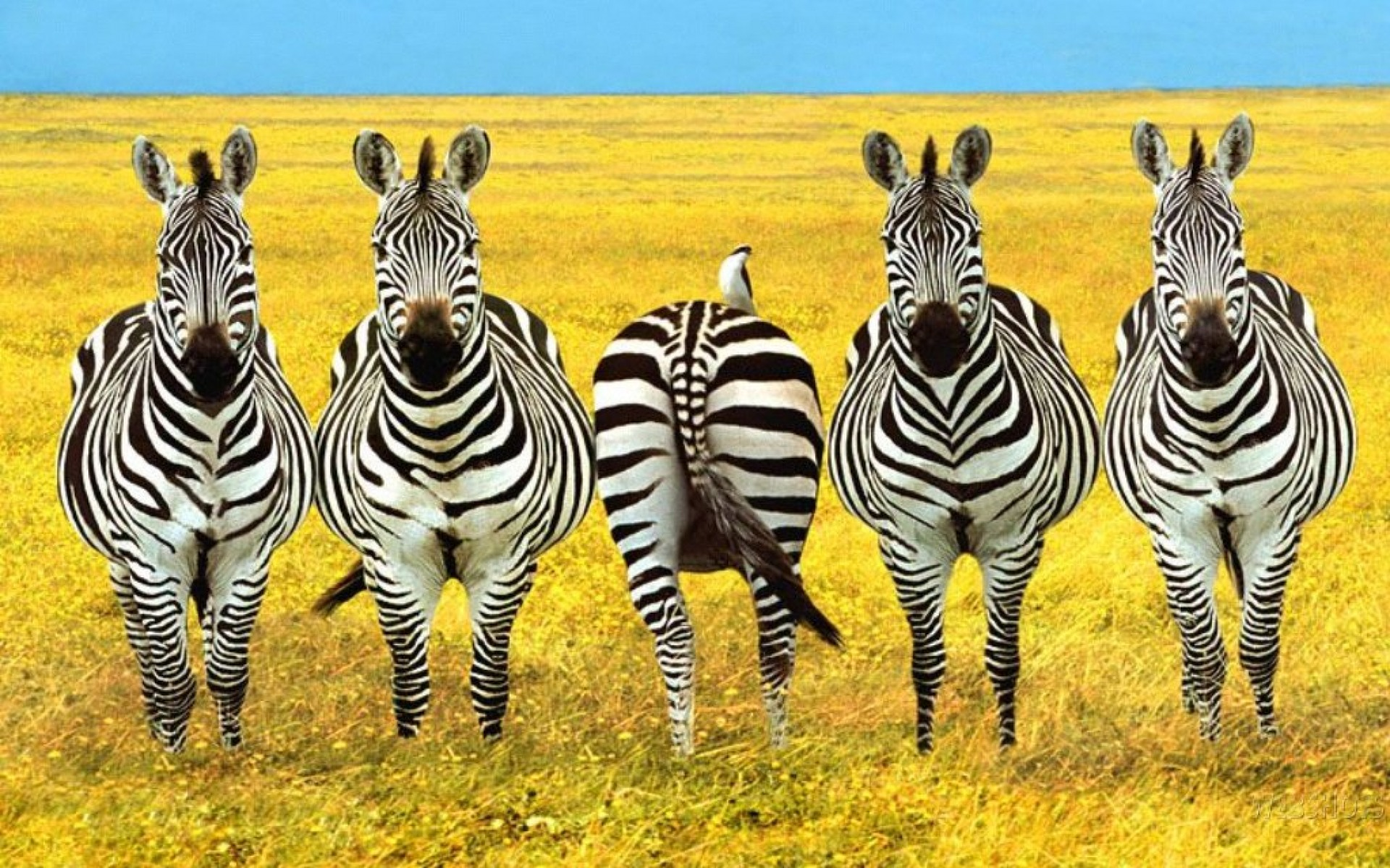 zebras-out-of-line-wallpapers_53576_1920x1200.jpg